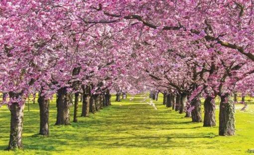 Fototapet med motivet: blommande träd