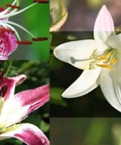 Fototapet med motivet: Blommor Liljor
