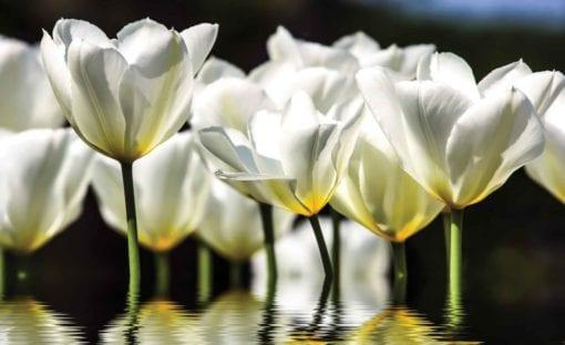 Fototapet med motivet: Blommor Vallmo