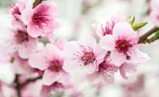 Fototapet med motivet: Körsbär Blomma Blommor