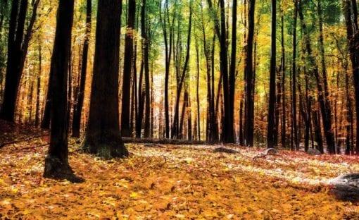 Fototapet med motivet: Skog