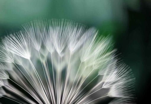 Fototapet med motivet: Maskros Blomma Natur
