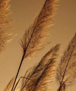 Fototapet med motivet: Gräs båser i vinden