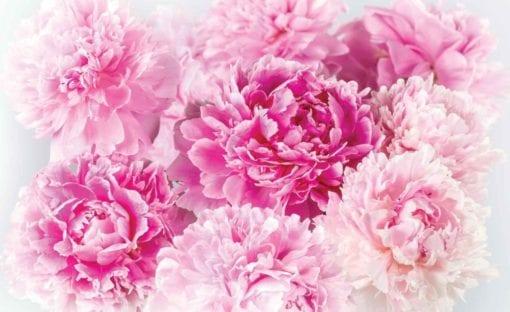 Fototapet med motivet: rosa nejlikor