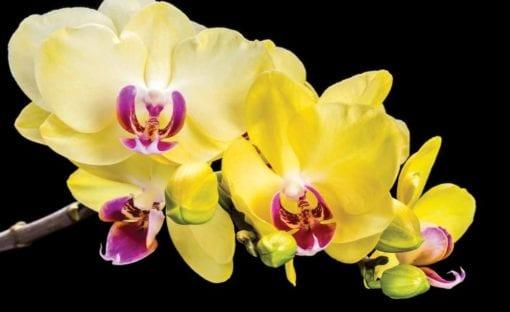 Fototapet med motivet: Orkidé blommor