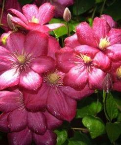 Fototapet med motivet: Blommor Natur Rosa