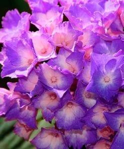 Fototapet med motivet: Blommor Hortensia Lila