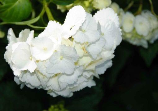 Fototapet med motivet: Blommor Hortensia Vit