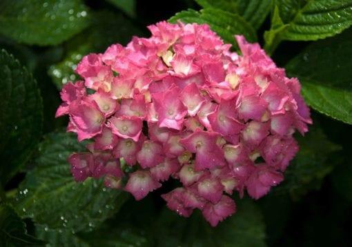 Fototapet med motivet: Blommor Hortensia Rosa