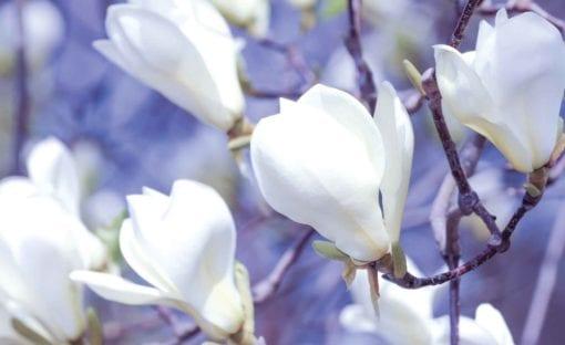 Fototapet med motivet: Blommor Magnolia Natur