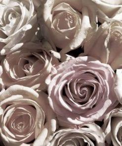 Fototapet med motivet: rosor Blommor