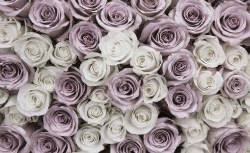 Fototapet med motivet: Rosor blommor rosa Vit