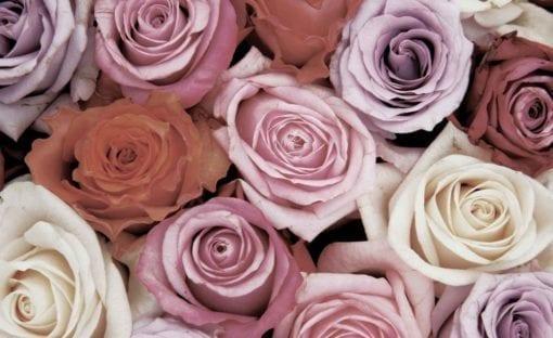 Fototapet med motivet: Rosor blommor Rosa Röd