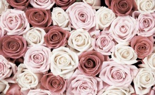 Fototapet med motivet: Rosor blommor rosa Vit Röd