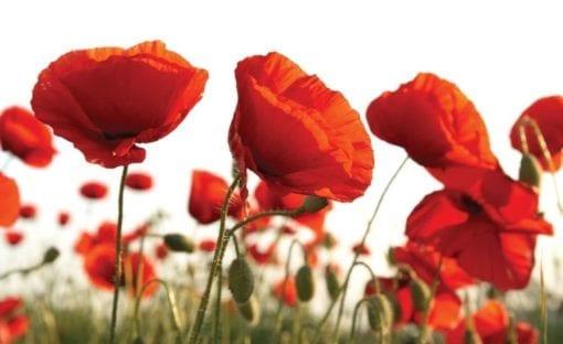 Fototapet med motivet: Blommor Vallmo Fält Natur