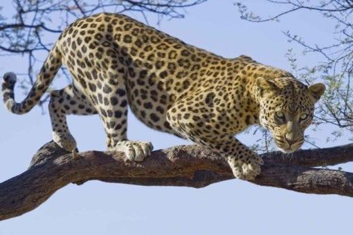 Fototapet med motivet: Leopard Träd