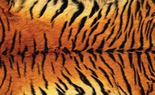 Fototapet med motivet: Tiger Skin