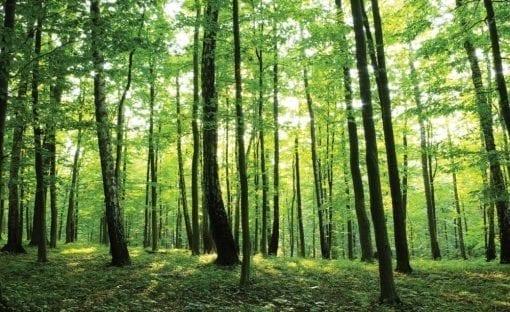 Fototapet med motivet: Skogsträd Grön Natur