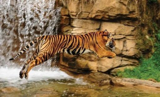 Fototapet med motivet: Tiger Vattenfall Natur