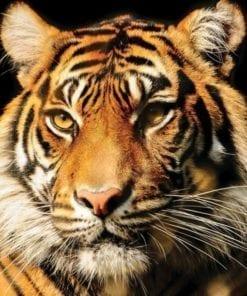 Fototapet med motivet: Tiger