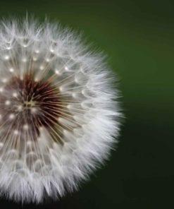 Fototapet med motivet: Blommor Maskros Natur