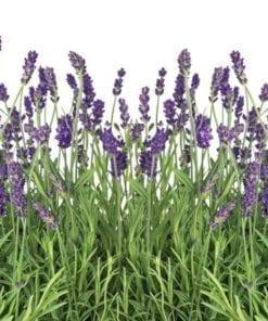 Fototapet med motivet: Blommor Lavender