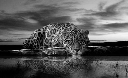 Fototapet med motivet: Leopard Feline Reflektion Svart