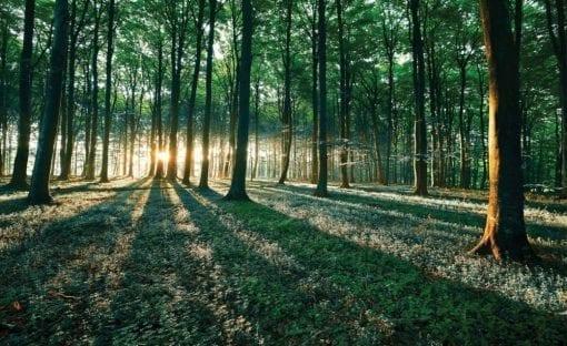 Fototapet med motivet: Skog Träd Ljusstråle ljus Natur