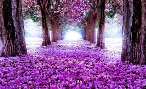 Fototapet med motivet: Blommor Träd Gång Lila