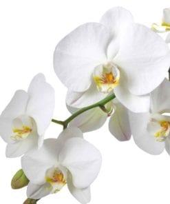 Fototapet med motivet: Blommor Orkidéer Natur Vit