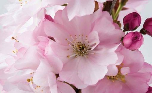 Fototapet med motivet: Blommor Blommas Natur Rosa