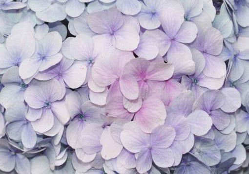 Fototapet med motivet: Blommor Hortensia Lila Rosa