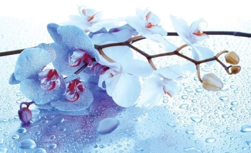 Fototapet med motivet: Blommor Orkidéer Natur droppar