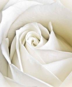 Fototapet med motivet: Blommor Ros Vit Natur