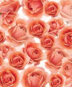 Fototapet med motivet: Blommor röda ro