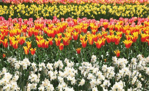 Fototapet med motivet: Fält av blommor