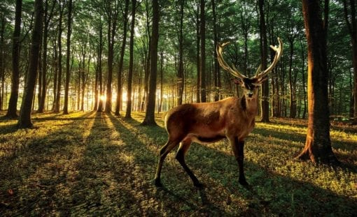 Fototapet med motivet: Hjort Skog träd Natur