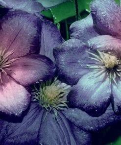 Fototapet med motivet: Lila Rosa blommor