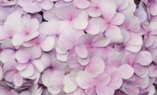 Fototapet med motivet: Lila blommor Blommor Design