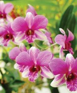 Fototapet med motivet: Orkidéer Rosa