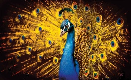 Fototapet med motivet: Påfågel Bird guld fjädrar
