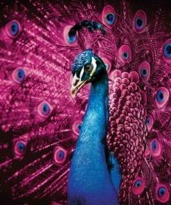 Fototapet med motivet: Påfågel Bird rosa fjädrar