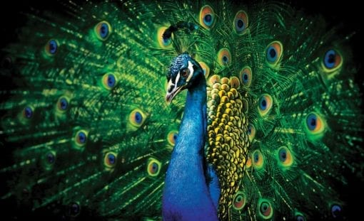 Fototapet med motivet: Påfågel Fågelfjädrar