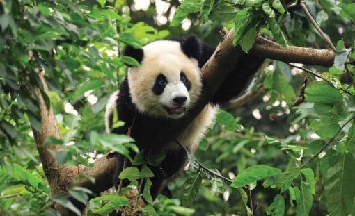 Fototapet med motivet: Panda
