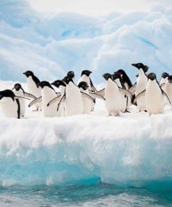 Fototapet med motivet: Pingviner