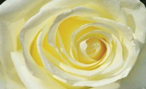 Fototapet med motivet: Ros Blomma Vit