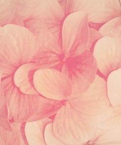 Fototapet med motivet: Rosa blommor Natur
