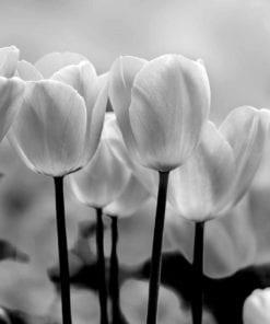 Fototapet med motivet: Tulpan Blommor
