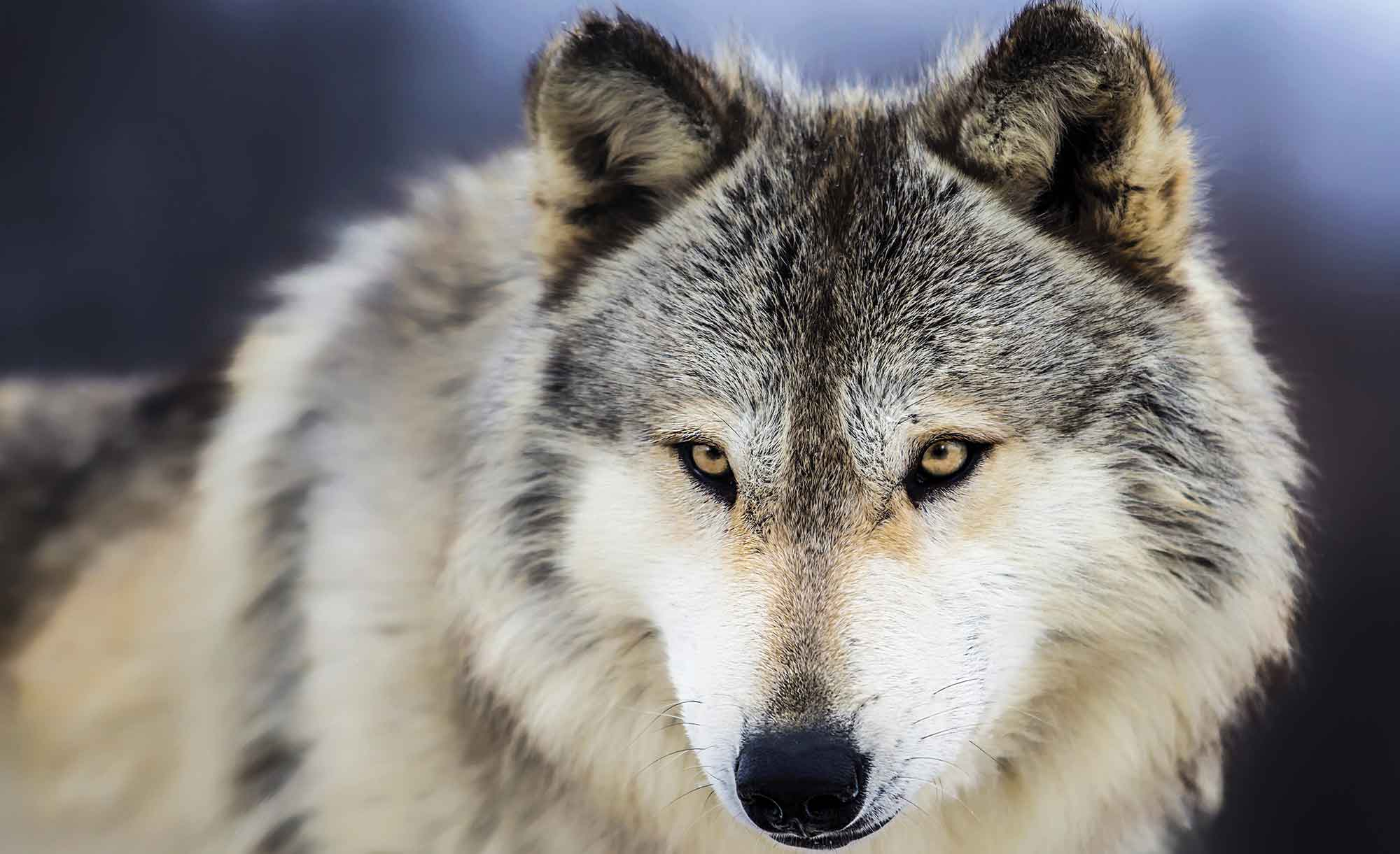 wolfg