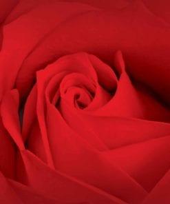 Fototapet med motivet: blomma ros